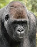 gorilla0008_s2.jpg